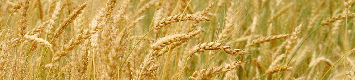 produzione cereali sostenibili